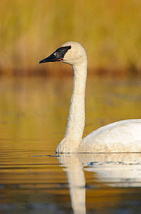 Trumpeter swan (Cygnus buccinator) adult profile on a nesting lake, Central Alaska, USA September - Gerrit Vyn
