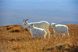 Dall sheep (Ovis dalli) ewe and lambs, Denali National Park, Alaska, USA  -  Gerrit Vyn