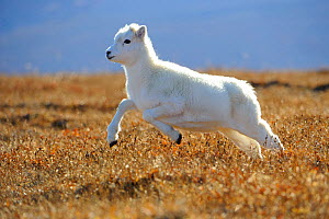 Dall sheep (Ovis dalli) yearling lamb running across alpine tundra,  Denali National Park, Alaska, USA - Gerrit Vyn