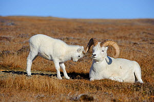Dall sheep (Ovis dalli) lamb tests a ram, Denali National Park, Alaska, USA  -  Gerrit Vyn