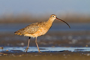 Long billed curlew (Numenius americanus) foraging on barrier island tidal flats, Terrebonne Parish, Louisiana, USA  -  Gerrit Vyn