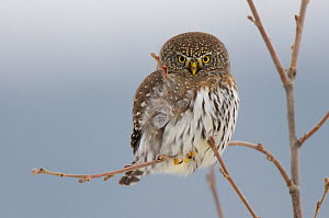 Northern Pygmy owl (Glaucidium gnoma) adult in tree in winter, Okanogan County, Washington, USA, November  -  Gerrit Vyn