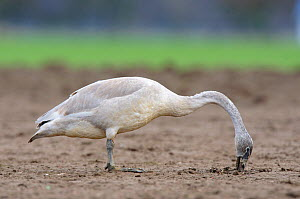 Trumpeter swan (Cygnus buccinator) juvenile foraging in an agricultural field, Skagit County, Washington, USA, February - Gerrit Vyn
