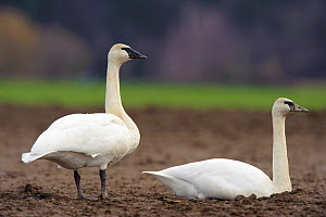 Trumpeter swans (Cygnus buccinator) adult pairresting in an agricultural field, Skagit County, Washington, USA, February - Gerrit Vyn