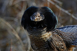 Ruffed grouse (Bonasa umbellus) male displaying neck ruff. The ruff is most often displayed once a female has been attracted by the males drumming and is present. Okanogan County, Washington, USA Apri...  -  Gerrit Vyn