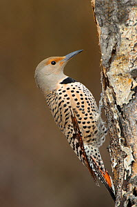 Northern flicker (Colaptes auratus) adult female of the western red shafted form. Okanogan County, Washington, USA April  -  Gerrit Vyn