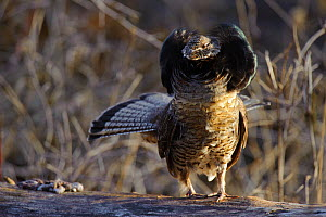 "Ruffed grouse (Bonasa umbellus) male displaying neck ""ruff"". The ruff is most often displayed once a female has been attracted by the males drumming and is present. Okanogan County, Washington, USA Ap... - Gerrit Vyn"