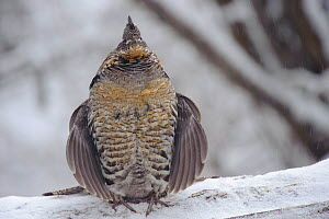 Ruffed grouse (Bonasa umbellus) male drumming in spring to attract females. Grouse begins with 2 or 3 slow beats, then gradually increases the speed creating a drumlike roll. Okanogan County, Washingt...  -  Gerrit Vyn