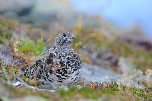 White tailed ptarmigan (Lagopus leucurus) adult female resting on ground in autumnal moult, Central Cascades, Washington, USA. September.  -  Gerrit Vyn