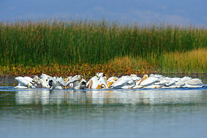 American White pelicans (Pelecanus erythrorhynchos) flock cooperative feeding in a shallow marsh during fall migration, Malheur County, Oregon, USA September - Gerrit Vyn