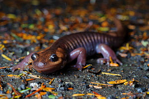Northwestern salamander (Ambystoma gracile) crawling across the forest floor at night. Mount Rainier National Park, Washington, USA. October. - Gerrit Vyn