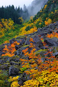 Fall Vine maple and boulders, Mount Rainier National Park, Washington, USA October 2011 - Gerrit Vyn