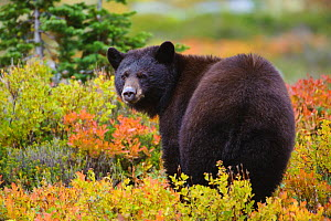 Black bear (Ursus americana) foraging for alpine berries during Autumn, Cascade Mountains, Washington, USA - Gerrit Vyn