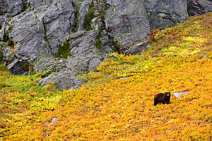 Black bear (Ursus americana) foraging for alpine berries during Autumn, on hillside, Cascade Mountains, Washington, USA - Gerrit Vyn