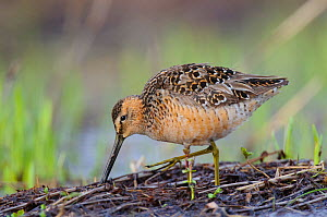 Long-billed Dowitcher (Limnodromus scolopaceus) adult foraging in breeding plumage. Seward Peninsula, Alaska, USA May - Gerrit Vyn