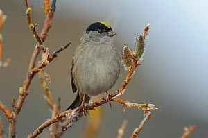 Golden crowned sparrow (Zonotrichia atricapilla) in willow, Seward Peninsula, Alaska, USA May  -  Gerrit Vyn