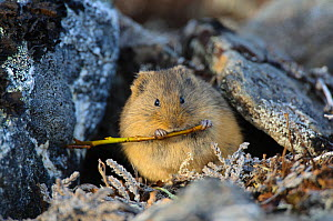 Singing vole (Microtus oeconomus) cutting willow stems, Seward Peninsula, Alaska, USA June  -  Gerrit Vyn