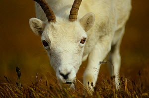 Dall sheep (Ovis dalli) ewe grazing, Denali National Park, Alaska USA September  -  Gerrit Vyn