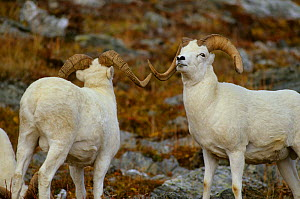 Dall sheep (Ovis dalli) rams sizing each other up. Establishing dominance is a constant activity for rams during the fall mating season. Denali National Park, Alaska, USA  -  Gerrit Vyn