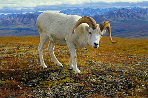 Dall sheep (Ovis dalli) mature ram, Denali National Park, Alaska, USA  -  Gerrit Vyn