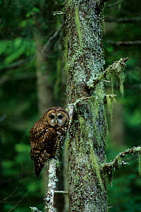 Spotted owl (Strix nebulosa) Gifford-Pinchot National Forest, Washington USA  -  Gerrit Vyn