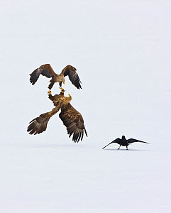 Two White Tailed Sea Eagle (Haliaeetus albicilla) fighting in acrobatic flight as Raven (Corvus corax) looks on. Scandinavia, April. 5th, 2010 Euronatur Wildlife photographer competition.  -  Juan Carlos Munoz