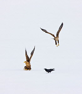 White Tailed Sea Eagles (Aliaeetus albicilla) flying above snow with a Raven (Corvus corax) landed. Scandinavia, Europe, April.  -  Juan Carlos Munoz