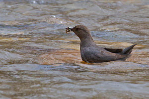 American Dipper (Cinclus mexicanus) with mayfly and stonefly nymphs in bill, Montana, USA  -  Phil Savoie