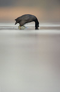 An adult Coot (Fulica atra) diving for food, Derbyshire, England, UK, March 2010 - Andrew Parkinson / 2020VISION