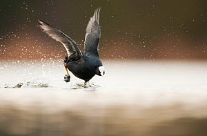 Adult Coot (Fulica atra) running on the surface of a lake, Derbyshire, England, UK, March 2010. Did you know? Coots can dive up to 2 metres.  -  Andrew Parkinson / 2020VISION