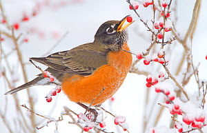 Male American robin (Turdus migratorius) feeding on Winterberry (Ilex sp) New York, USA, January - Marie Read