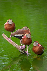 Four Black-bellied whistling-ducks (Dendrocygna autumnalis) perched on a partially-submerged branch in water, Edinburg Wetlands, Edinburg, Texas, USA, March  -  Marie Read