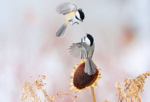 Two Black-capped chickadees (Poecile atricapillus) in mid-air fight by a sunflower, New York, USA, February - Marie Read