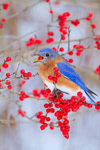 Male Eastern bluebird (Sialia sialis) feeding on winterberry (Ilex sp) fruit, New York, USA, January - Marie Read