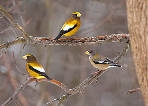 Three Evening grosbeaks (Coccothraustes vespertinus) perched, two males and one female, Madison County, New York, USA, January  -  Marie Read