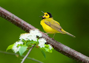 Male Hooded warbler (Setophaga citrina) in breeding plumage, singing, New York, USA, May - Marie Read
