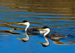 Western grebe (Aechmophorus occidentalis) pair swimming, with reflections, Bolsa Chica Ecological Reserve, California, USA, February - Marie Read