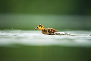 A Mallard (Anas platyrhynchos) duckling scurries across the surface of a lake, Derbyshire, England, UK, June  -  Andrew Parkinson / 2020VISION