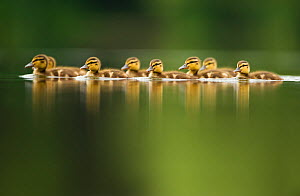 A line of Mallard (Anas platyrhynchos) ducklings swimming on a still lake, Derbyshire, England, UK, June  -  Andrew Parkinson / 2020VISION