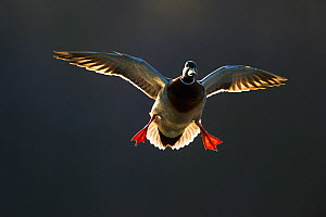 An adult male Mallard (Anas platyrhynchos) comes in to land, backlit by evening sunlight, Derbyshire, England, UK, March. Did you know? In addition to the colour differences between male and female du... - Andrew Parkinson / 2020VISION