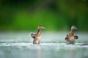 Two Mallard (Anas platyrhynchos) ducklings standing up to shake their wings after bathing, Derbyshire, England, UK, June - Andrew Parkinson / 2020VISION