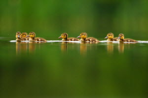 A line of Mallard (Anas platyrhynchos) ducklings swimming on a still lake, Derbyshire, England, UK, June. Did you know? Ducklings take 50-60 days to fledge and become independent.  -  Andrew Parkinson / 2020VISION