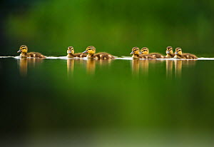 A line of Mallard (Anas platyrhynchos) ducklings swimming on a still lake, Derbyshire, England, UK, June. Did you know? A Mallard duck will lay more than half her body weight in eggs.  -  Andrew Parkinson / 2020VISION