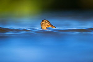 A sub-adult female Mallard (Anas platyrhynchos), partially obscured by choppy water on a lake, Derbyshire, England, UK, July - Andrew Parkinson / 2020VISION