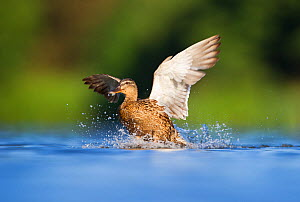 An adult female Mallard (Anas platyrhynchos) landing on a lake, Derbyshire, England, UK, July Sequence 2/3  -  Andrew Parkinson / 2020VISION