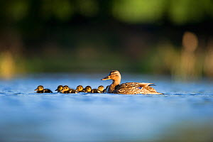 An adult female Mallard (Anas platyrhynchos) with ducklings, on a still lake, Derbyshire, England, UK, June - Andrew Parkinson / 2020VISION