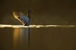 Portrait of an adult male Mallard (Anas platyrhynchos) backlit by evening sunlight, drying its wings, Derbyshire, England, UK, April - Andrew Parkinson / 2020VISION