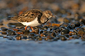 Ruddy turnstone (Arenaria interpres) feeding on shingle beach, Norfolk, England, UK, November. Did you know? Turnstones can flip rocks almost as heavy as they are. - Chris Gomersall / 2020VISION