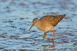 Common redshank (Tringa totanus) in winter plumage, feeding on mudflats, The Wash, Norfolk, England, UK, March  -  Chris Gomersall / 2020VISION