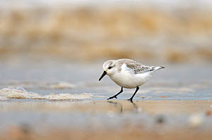 Sanderling (Calidris alba) in winter plumage feeding on tideline, The Wash, Norfolk, March. Did you know? The Sanderling is the only British wading bird that has no back toe; this gives it a distincti... - Chris Gomersall / 2020VISION